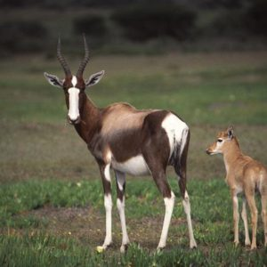 bontebok_-_mother__calf
